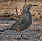 Curve-billed thrasher 11-11-2007
