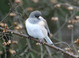 Oregon Junco, January 24, 2017, USA, Multnomah County, Northeast Portland