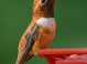 Rufous Hummingbird taken by Dan Mitchell in our backyard in Tigard, Oregon on 3/19/2017