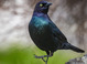 Brewer's Blackbird taken by Dan Mitchell in Chiloquin, Oregon on 4/9/2017.