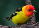 Western Tanager taken by Dan Mitchell in our backyard in Tigard, Oregon on 4/23/2017.