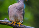 Band-tailed Pigeon taken by Dan Mitchell in our backyard in Tigard, Oregon on 4/26/2017.