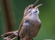 Bewick's Wren taken by Dan Mitchell in our backyard in Tigard, Oregon on 4/23/2017.