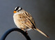 White-crowned Sparrow taken by Dan Mitchell in Chiloquin, Oregon on 4/13/2017