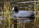 American Coot taken by Dan Mitchell in Chiloquin, Oregon on 4/12/2017.