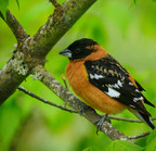 Black-headed grosbeak-05-5-2017