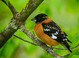Black-headed Grosbeak taken by Dan Mitchell in our backyard in Tigard, Oregon on 5/5/2017.