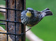 Yellow-rumped Warbler taken by Dan Mitchell in our backyard in Tigard, Oregon on 5/1/2017.