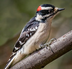 Downy woodpecker-03-19-2017