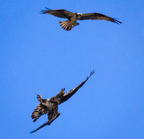 Eagle osprey confrontation-2078-edit