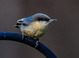 Pygmy Nuthatch taken by Dan Mitchell in Chiloquin, Oregon on 4/9/2017.