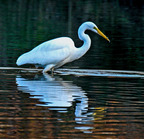 Great egret 10-28-2007