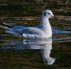 Bonaparte's gull salmon river esturary 11-25-2017