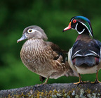 Wood duck pair - 05-17-2017