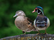 Wood Duck Pair taken by Dan Mitchell in our backyard in Tigard, Oregon on 5/17/2017.