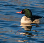 Common merganser_11-29-2009