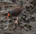 Black oystercatcher-crescent city, ca_01-23-2010