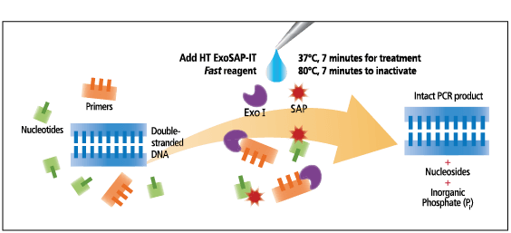 an overview analysis of cloning Overview: isolate dna à cut with restriction enzymes à ligate into cloning vector à transform recombinant dna molecule into host cell à each transformed cell will divide many, many times to form a colony of millions of cells, each of which carries the.