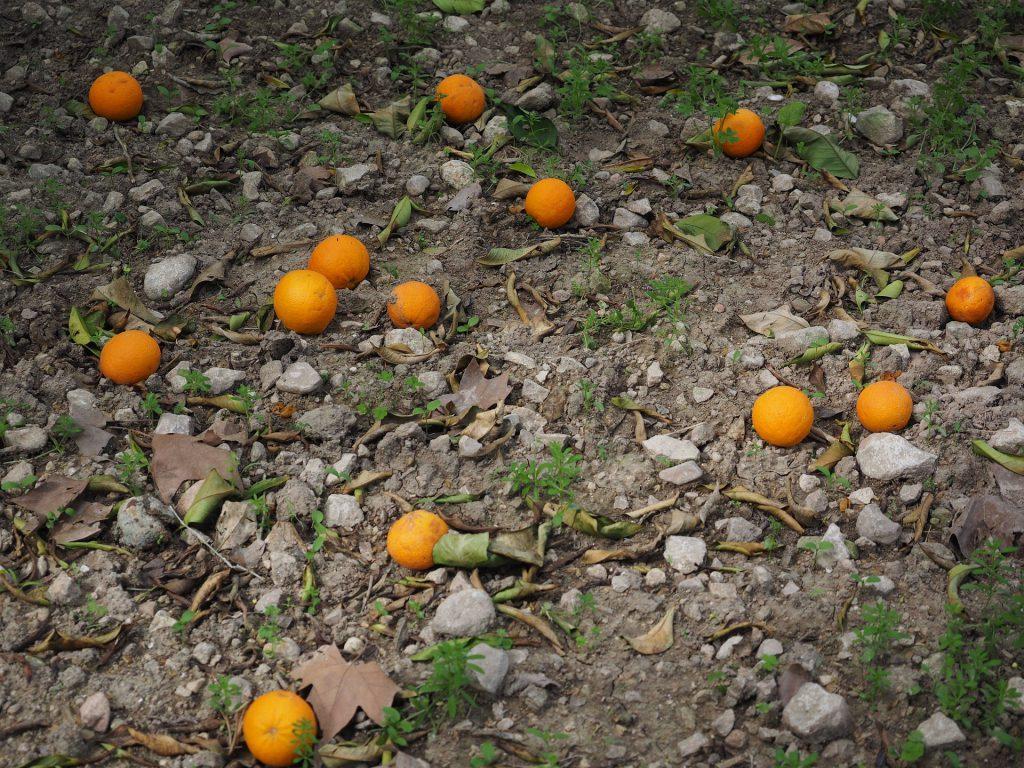 laranjas caídas ao chão