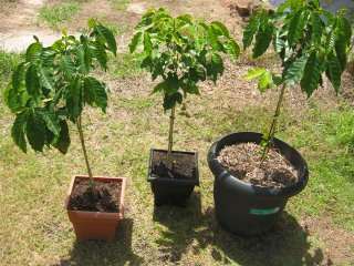 Coffee Trees in pots