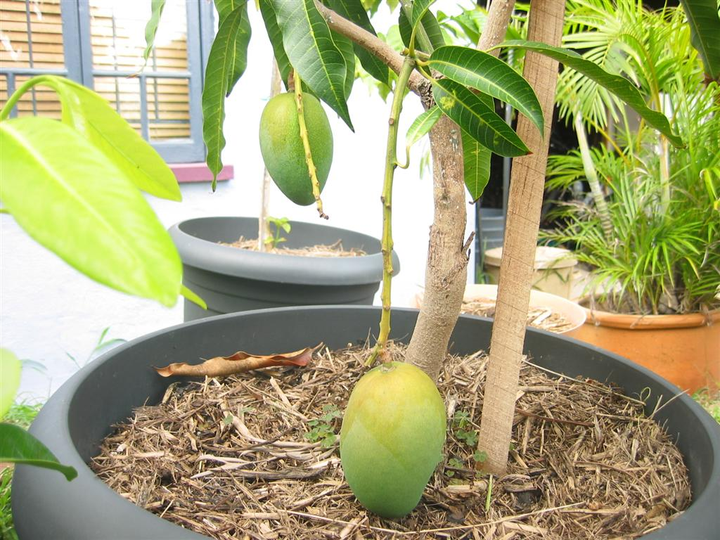 Fruit Trees To Grow In Pots - How to grow a mango tree in a pot
