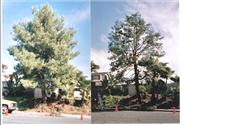 Pine tree before and after