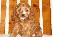 Example of a Red Cockapoo puppy