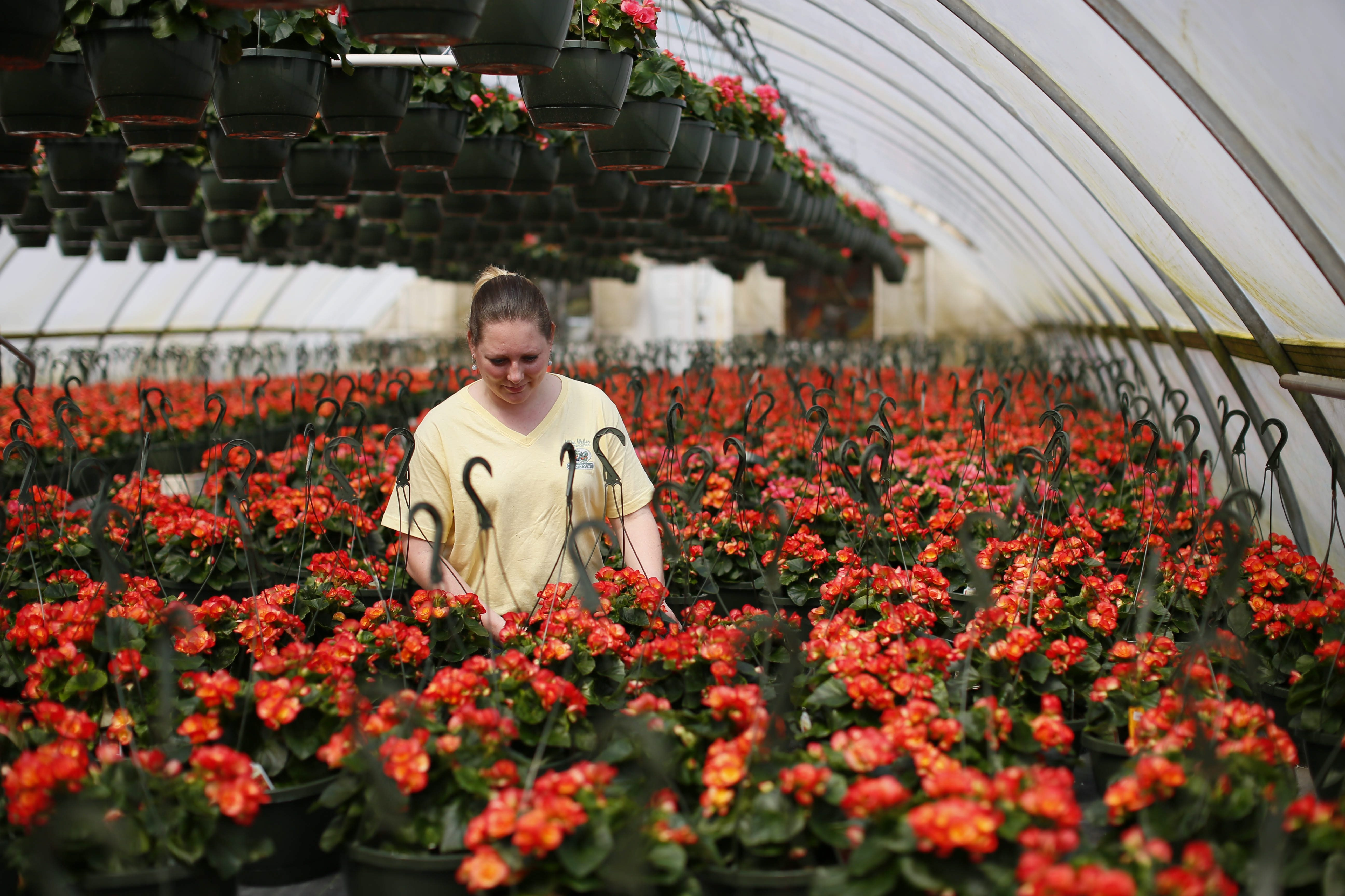 Jenn Weber,  manager of Mike Weber Greenhouses in the Gardenville neighborhood of West Seneca, was getting begonias ready in preparation for the opening of the store. (Derek Gee/Buffalo News)