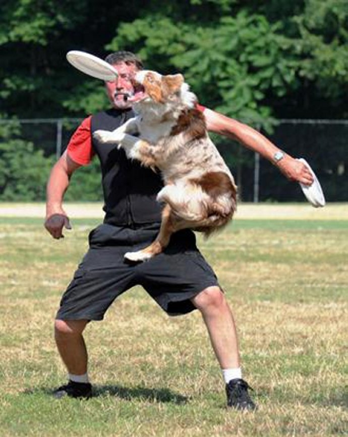 Vixen shows some world-class athleticism while snaring a Frisbee at a K-9 show.