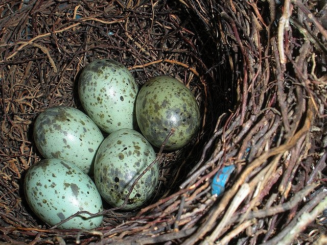 Blue jay eggs, which are beautifully freckled, are coveted by some collectors.