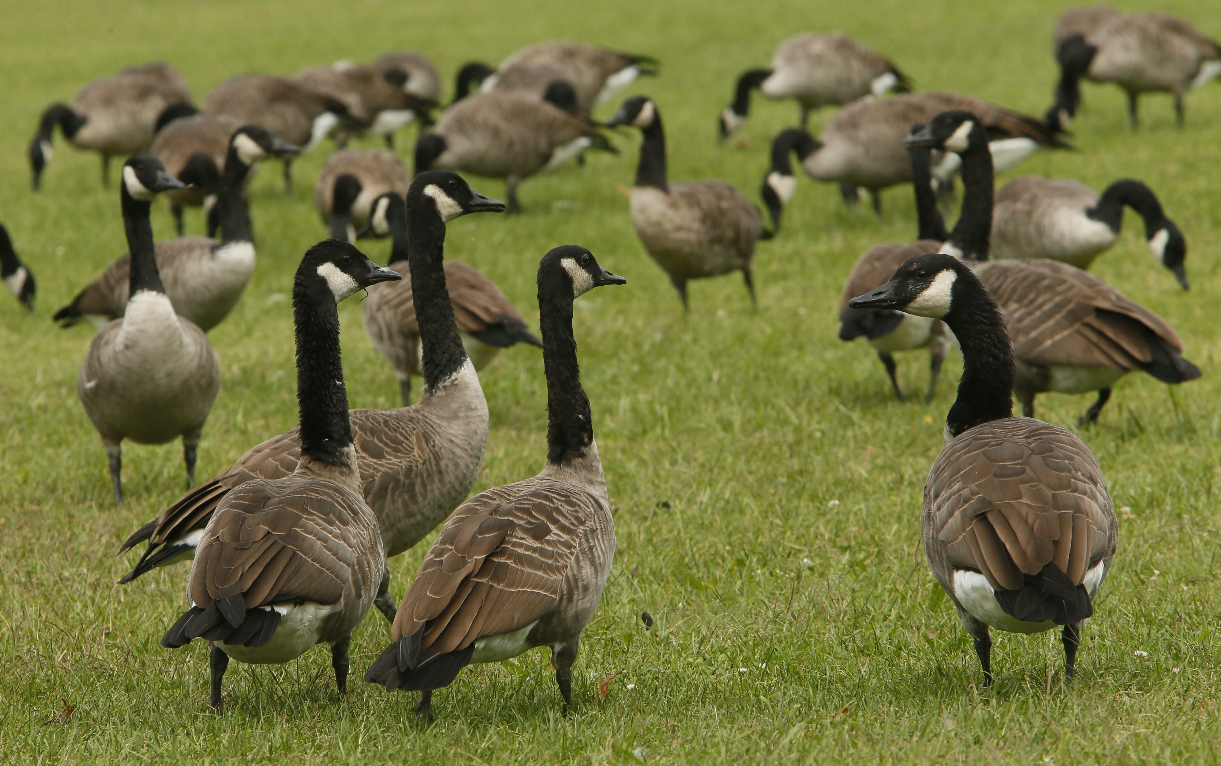 Goose hunting runs from Sept. 1-26, when it is halted for a month to allow safe passage of migrating Canada geese.  Derek Gee/Buffalo News