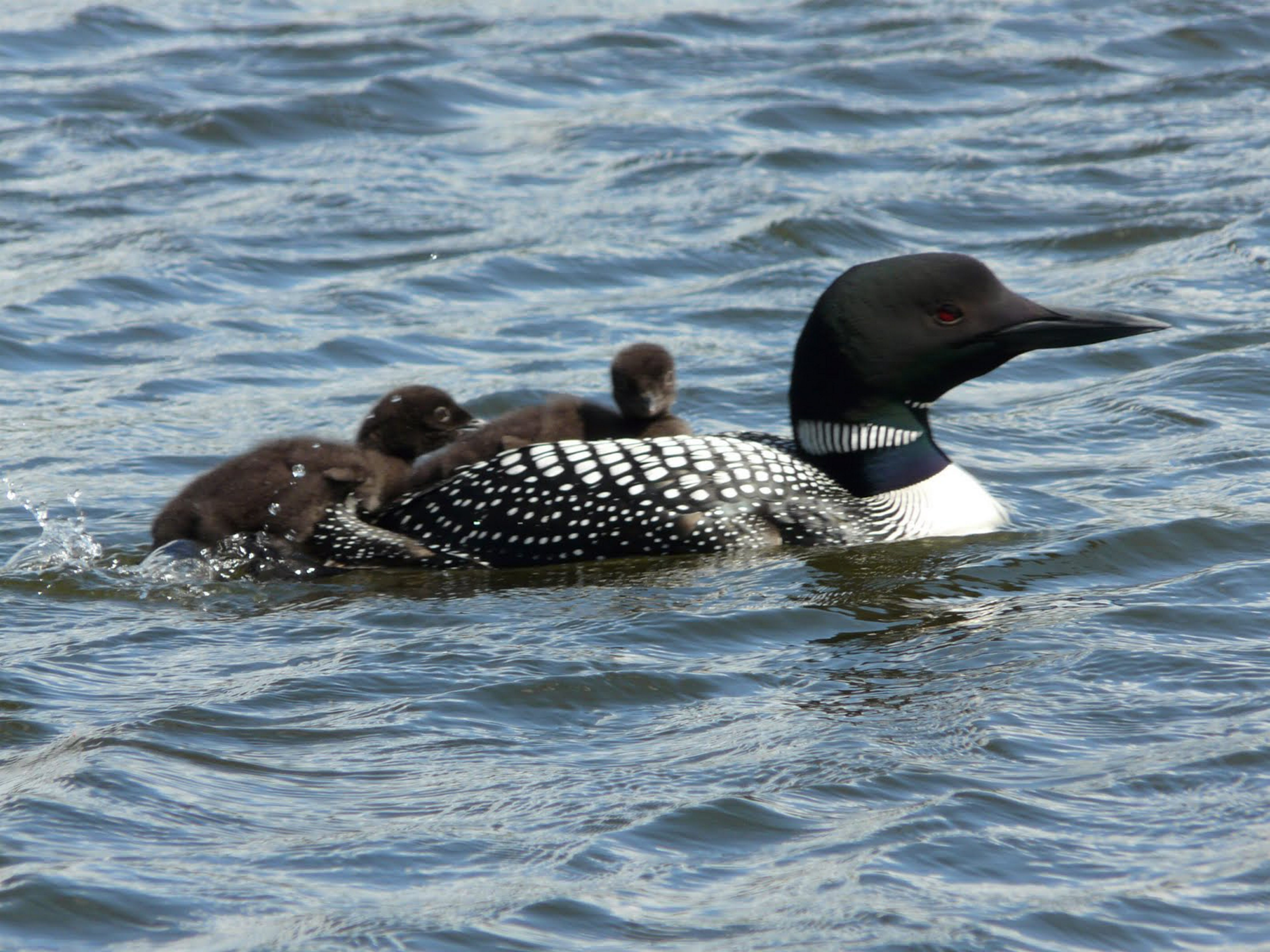 Common loons are being poisoned.