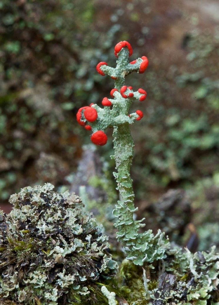 Cladonia cristatella lichen.