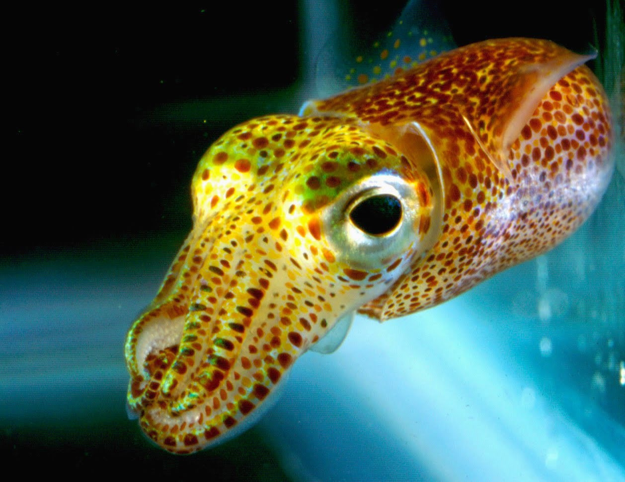 A study of Hawaiian bobtail squid indicates that, in addition to external light, the nocturnal creature may be guided by light-generating bacteria that live in its body, telling the squid's internal clock when it is time to forage for food and when it is time to sleep.
