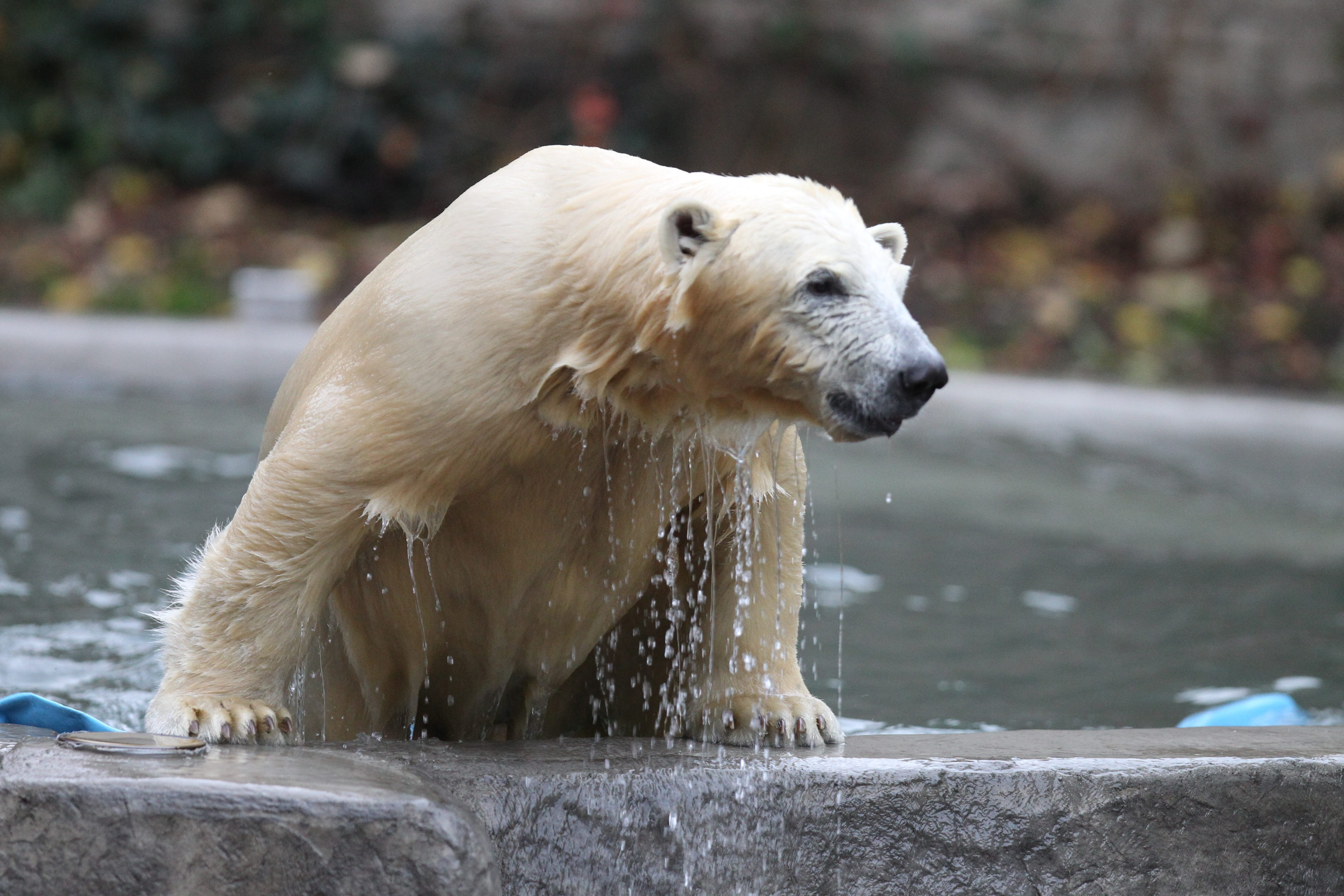 Kali, the orphaned polar bear, will stay at the Buffalo Zoo, at least through 2015, Sen. Charles E. Schumer said.