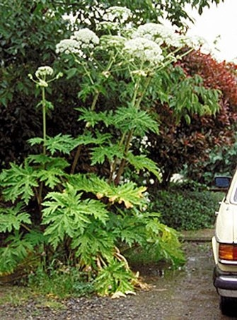 Giant hogweed, originally from Asia, is a public health hazard.