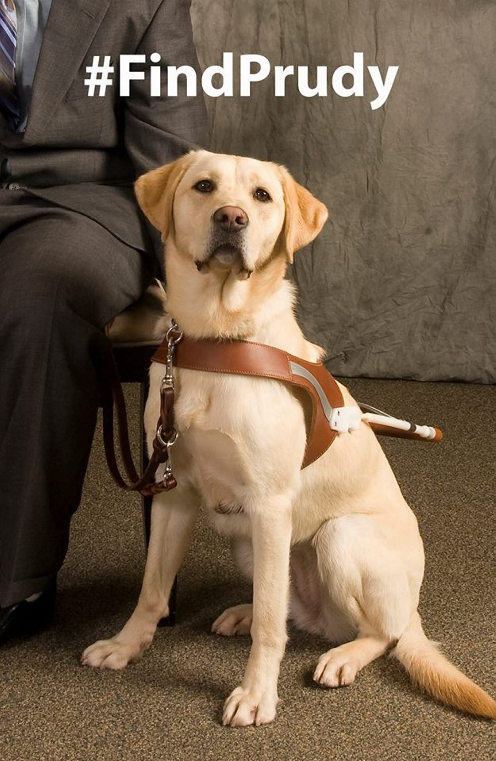 It is believed that something spooked Prudy, a 3-year-old yellow Labrador and guide dog, causing her to run from her owner's home.