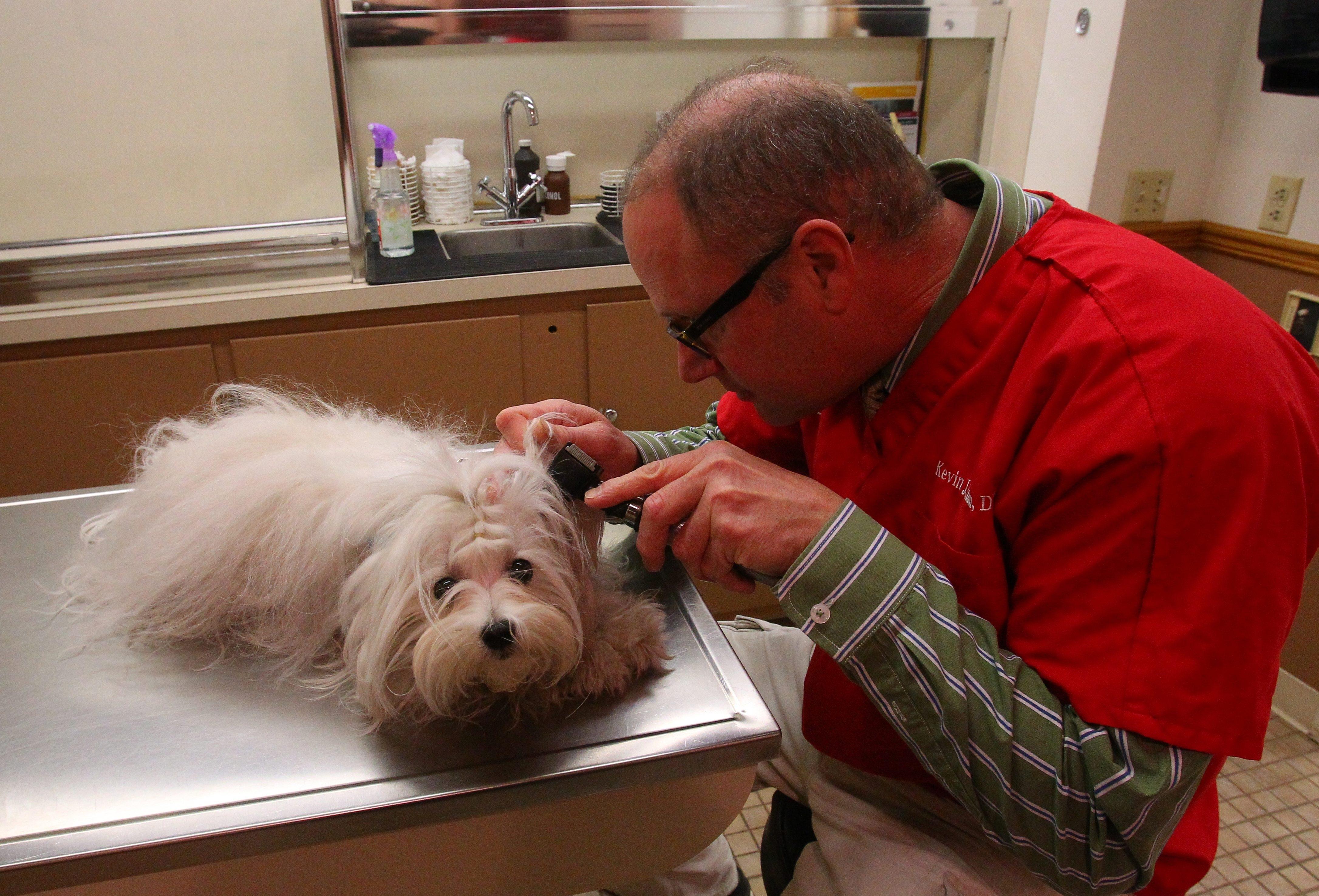 Veterinarian Kevin Kuhn does a preliminary examination of Jenevra, a Maltese at Afton Animal Hospital in Amherst last week.
