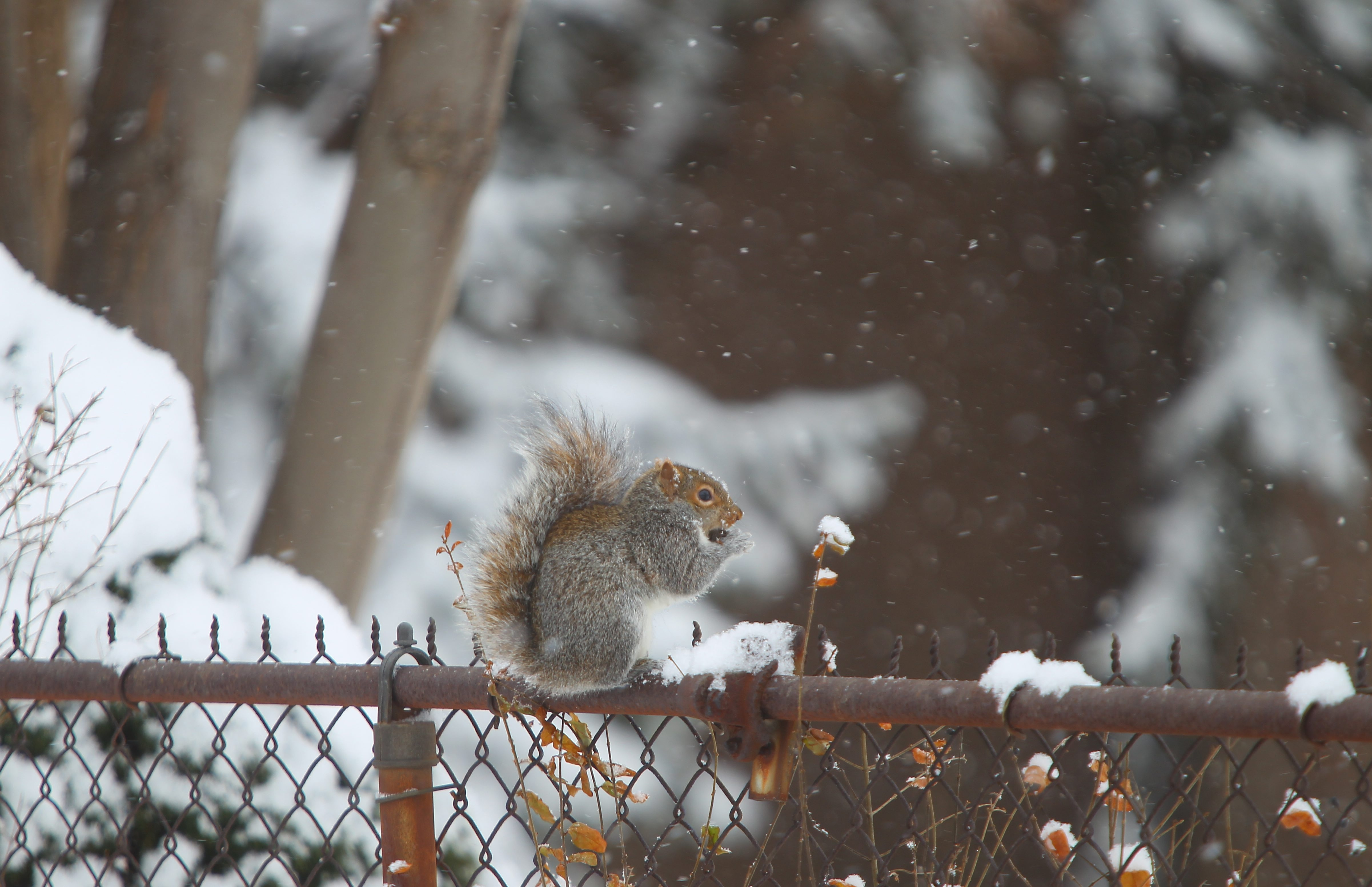 A squirrel enjoys a nut while sitting on the fence as snow falls on Friday.