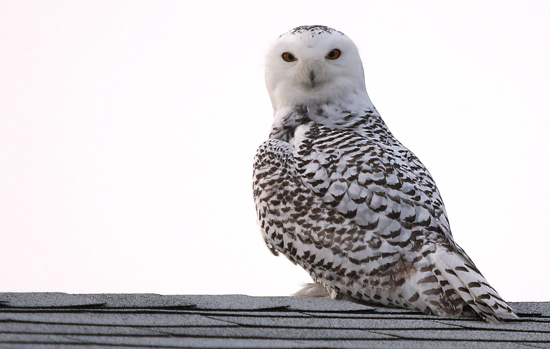 """There are snowy owls everywhere right now. It's still early, but there have been eight or nine sightings so far.""  Marianne Hites, a federally licensed wildlife rehabilitator from Messinger Woods  This snowy owl was seen on the roof of a home on Meadow Lea Drive in Eggertsville, where it stayed for several hours."