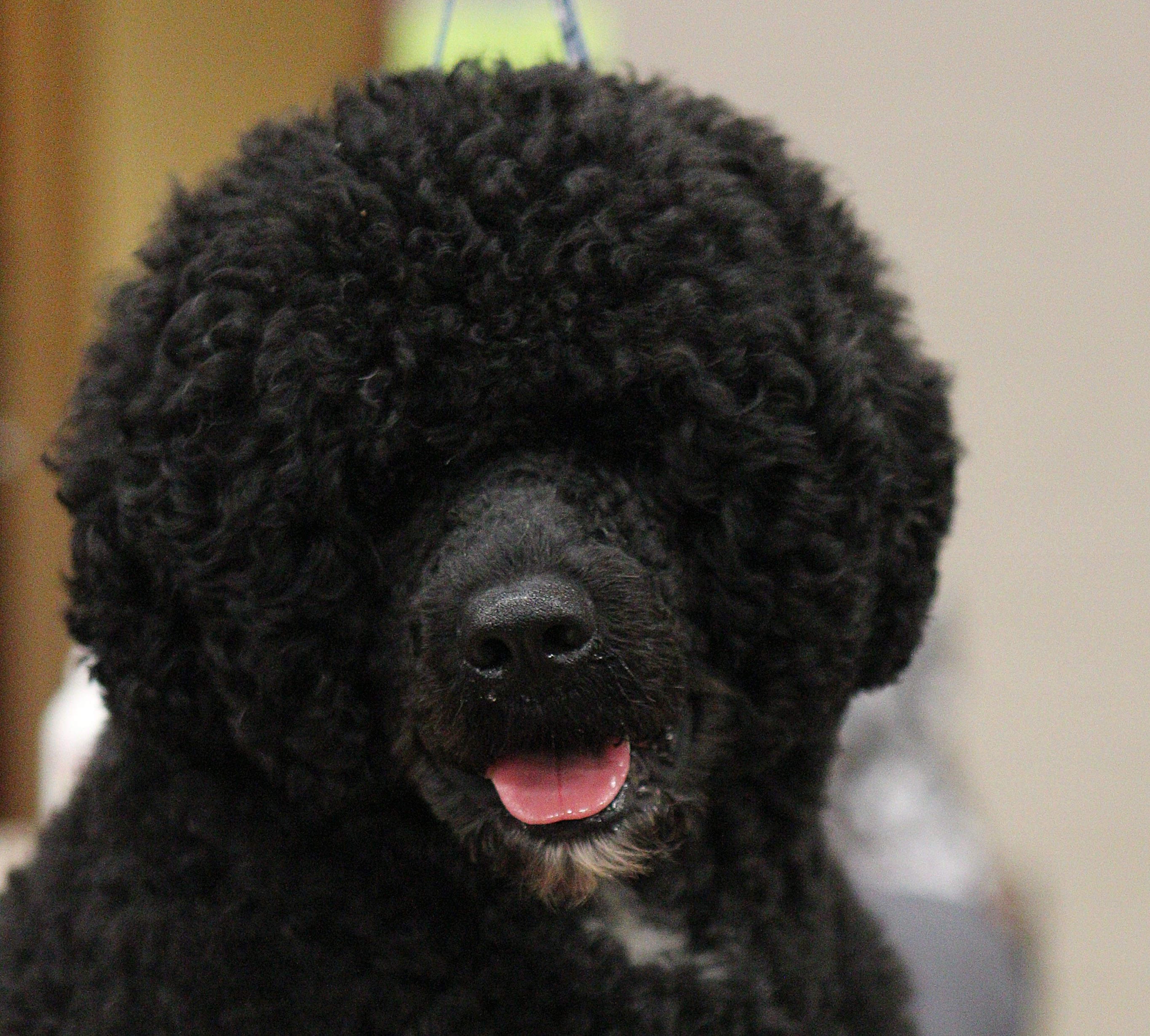 Max, a Portuguese water dog, is groomed and ready for the competition.