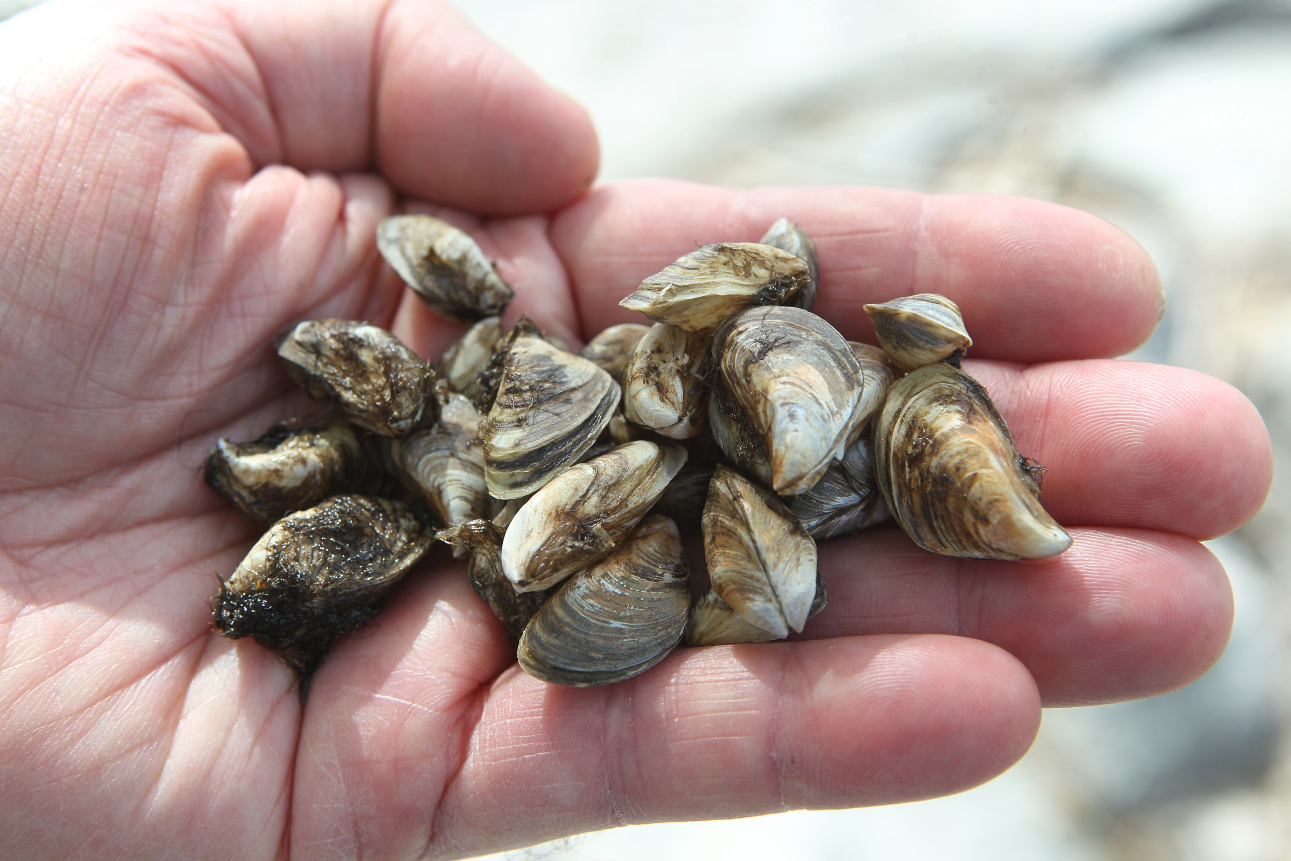The quagga mussel, like these shown here, and the zebra mussel have wreaked havoc on the Great Lakes ecosystem ever since they were introduced to the area in the 1980s.