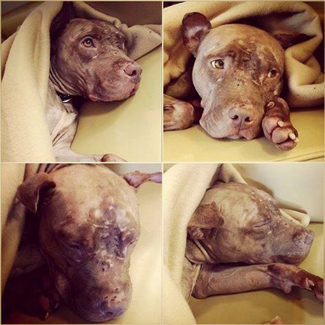Ginja, a young pit bull, has been missing since early January from the Buffalo Animal Shelter.