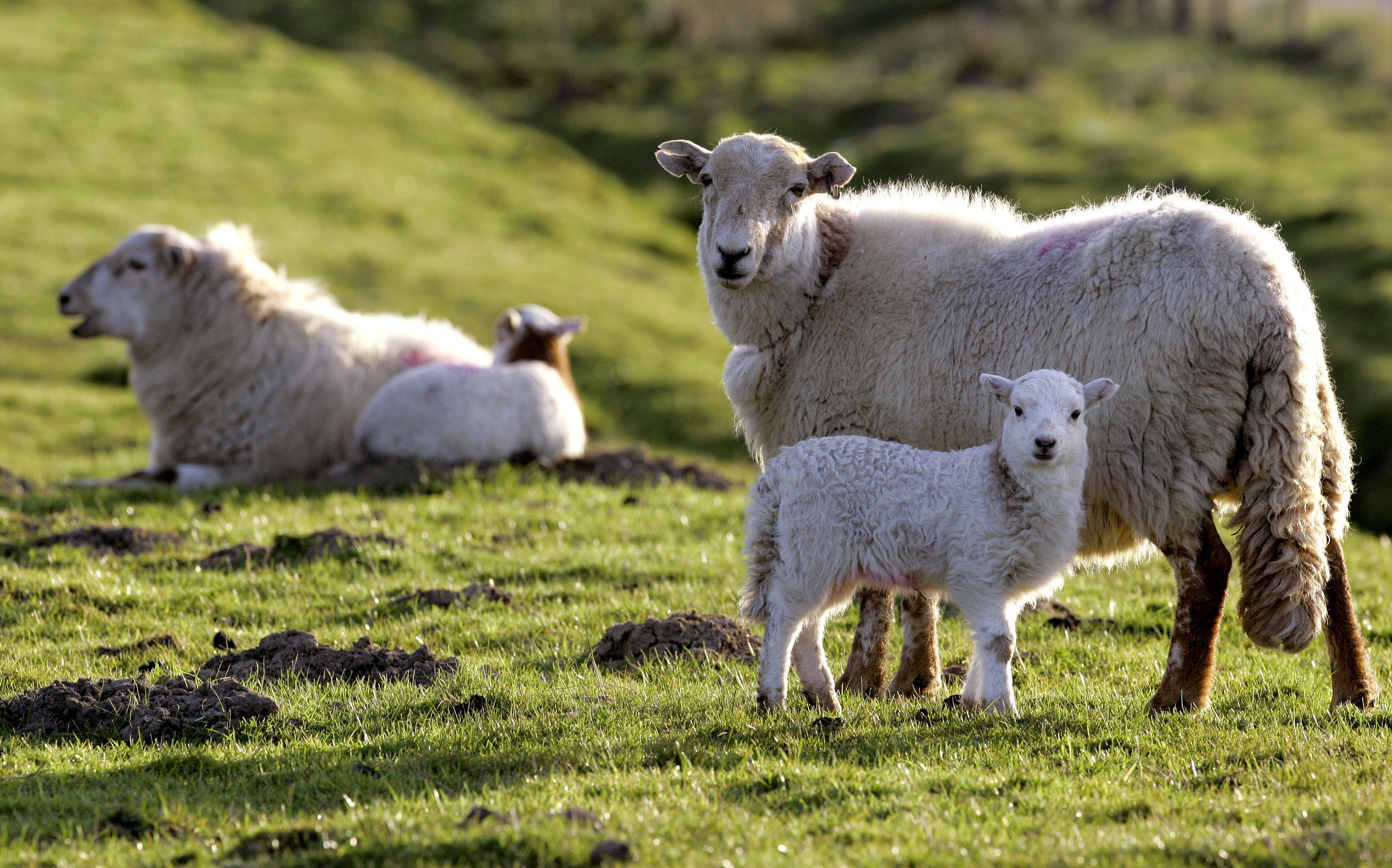 """FILE – In this Wednesday, April 23, 2008 file photo, sheep graze near the recently closed Tower Colliery coal mine near the village of Hirwaun, Wales. The Irish require at least 6,000 sheep as hosts of this year's Golden Shears World Championships. But they're more than 1,000 short with just weeks to go before an event dubbed """"the Olympics of sheep shearing."""" Organizers said Monday March 24, 2014, they need ewes, aged 12 to 14 months, to ensure that all competitors are supplied similarly shaped sheep. (AP Photo/Kirsty Wigglesworth, File)"""
