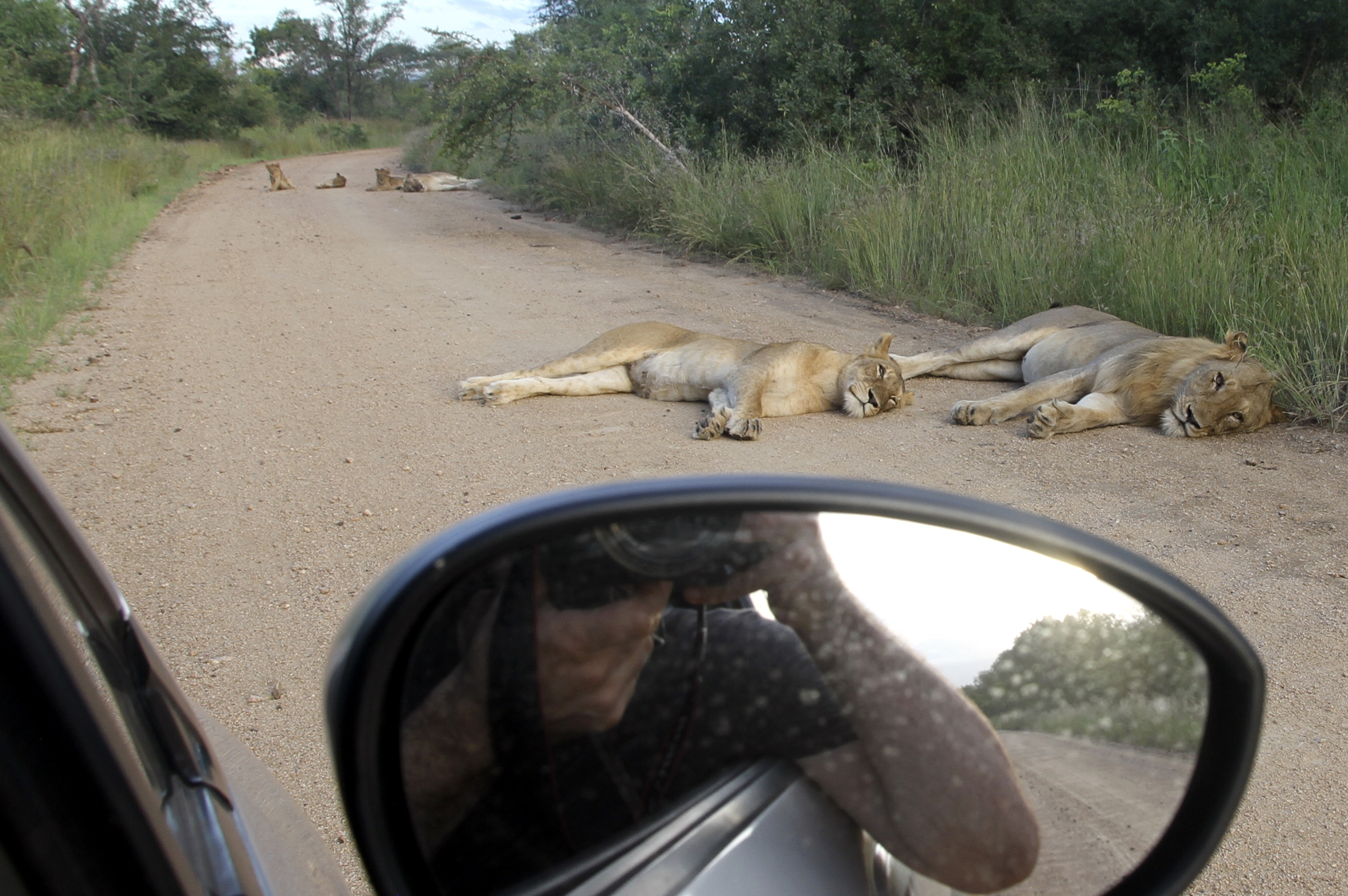 Lounging lions on a road at Kruger National Park, South Africa, Feb. 14, 2014. By driving yourself, cooking for yourself and camping, you can do Kruger for around $100 per couple per day, including everything but airfare. (Seth Kugel/The New York Times) — PHOTO MOVED IN ADVANCE AND NOT FOR USE – ONLINE OR IN PRINT – BEFORE MARCH 30, 2014.