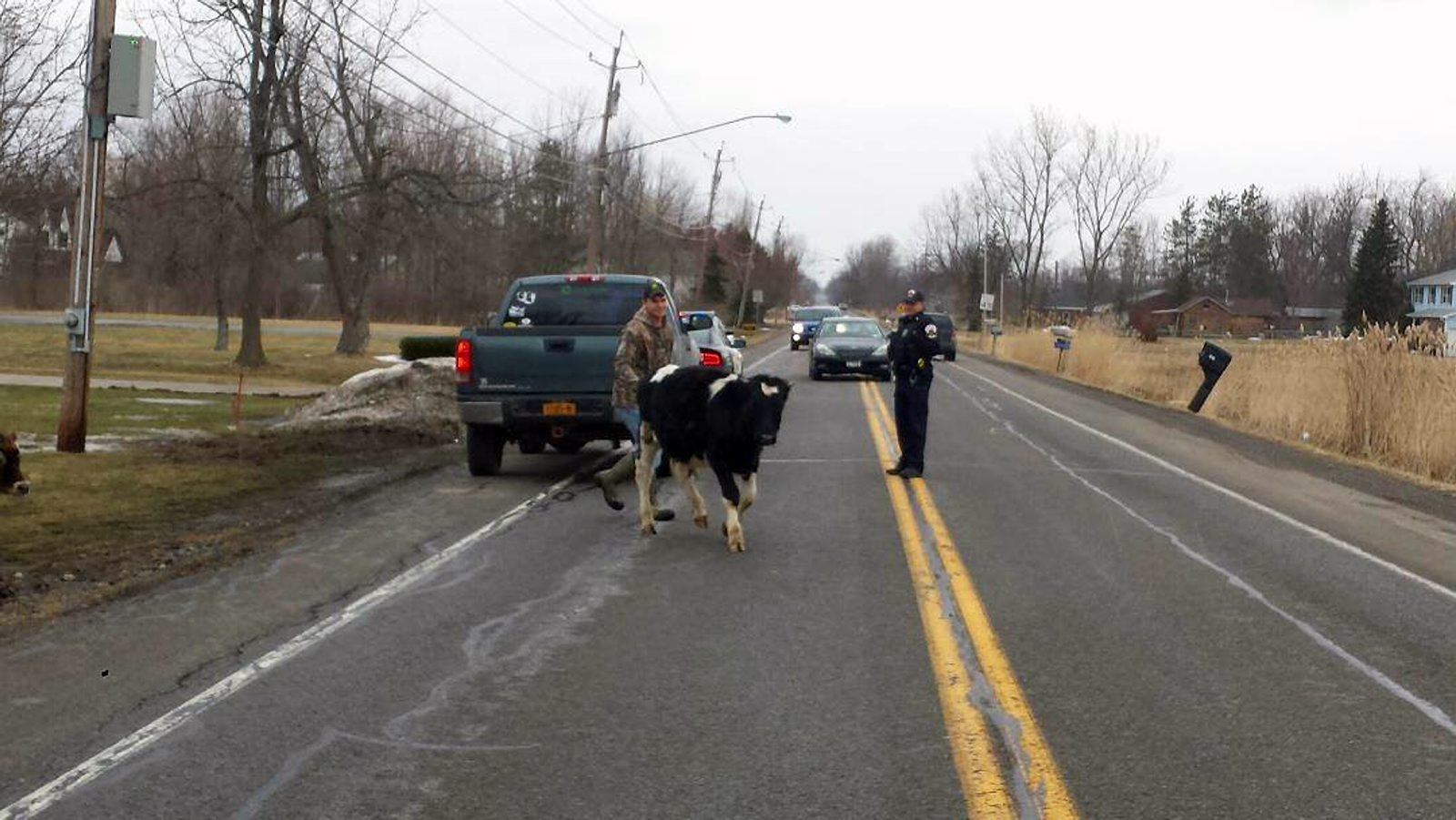 Facebook photos from Lancaster police capture Town Line Road action Tuesday as livestock frolic with their brand of March Madness.