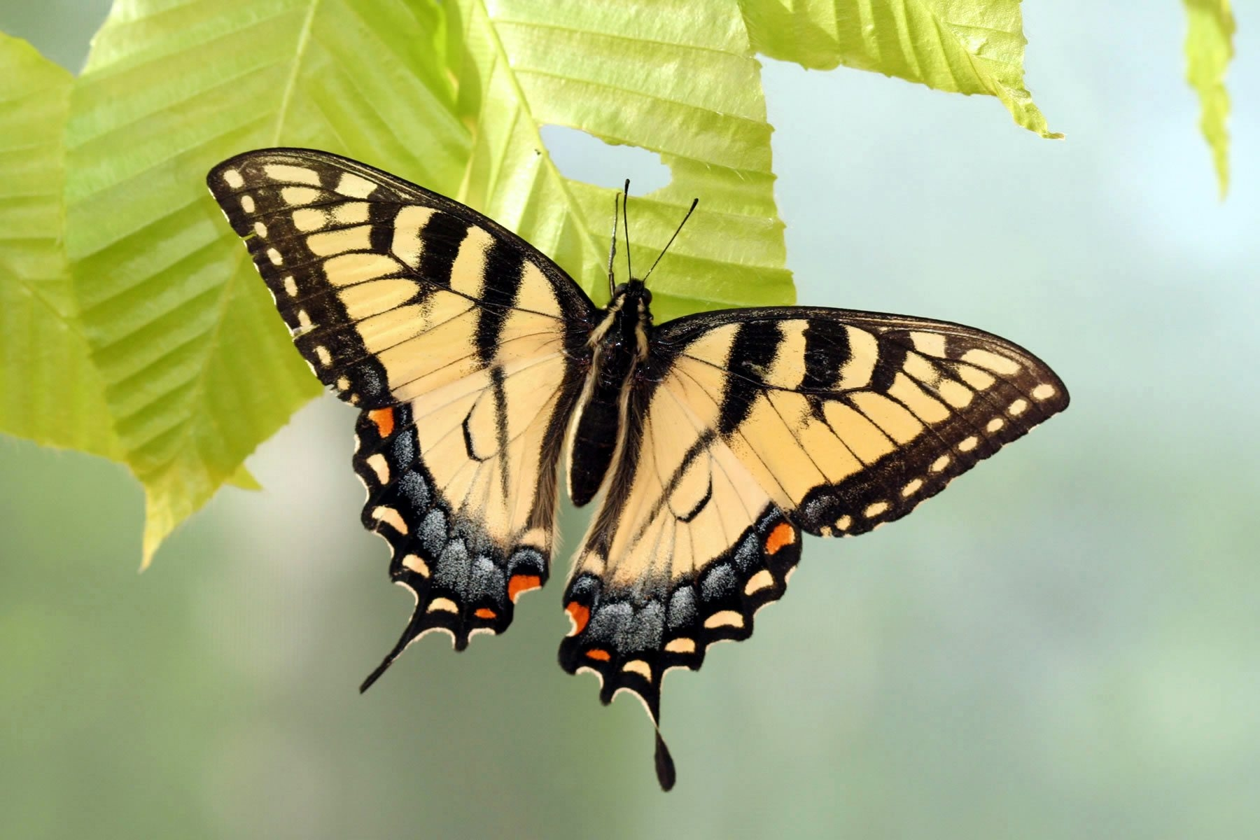 The swallowtail can mimic the wing patterns of toxic butterflies.