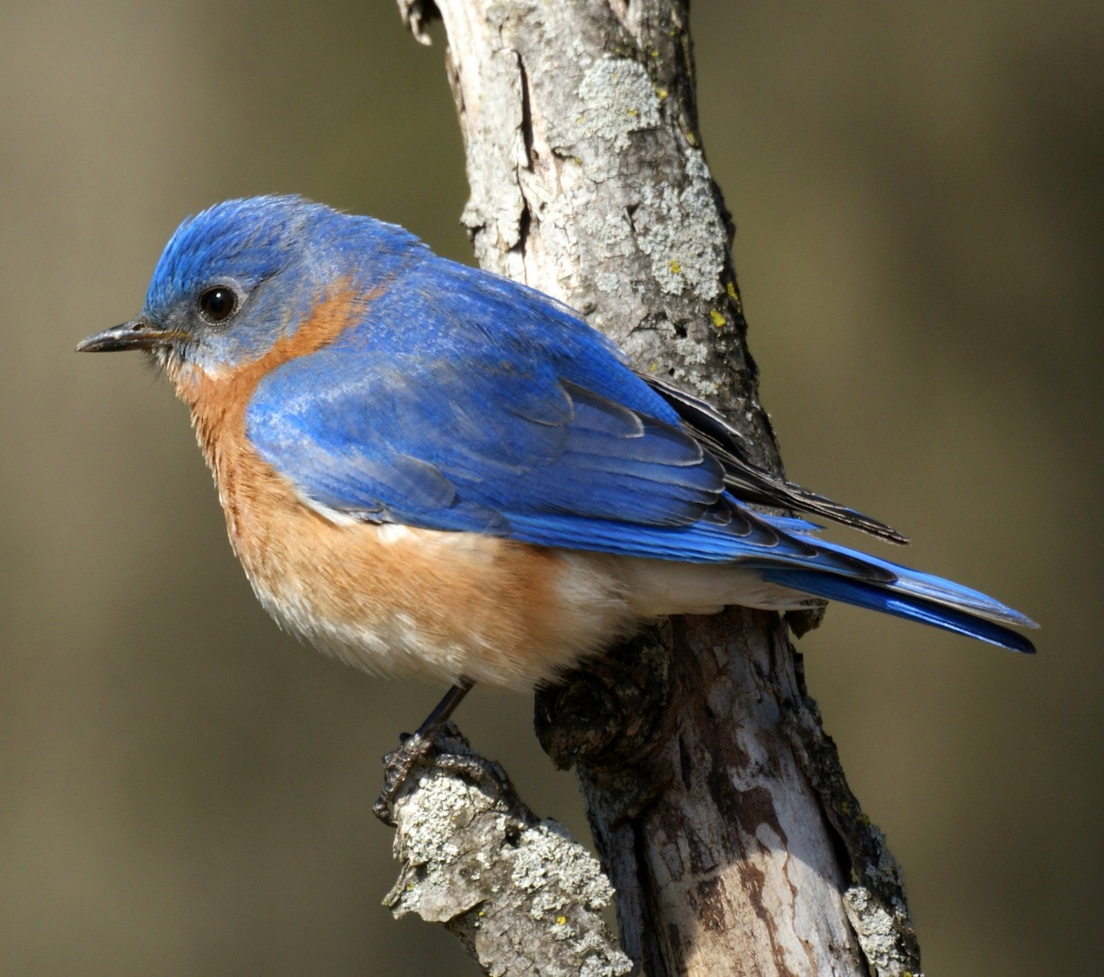 """Bluebirds are known for their """"spring here"""" calls."""