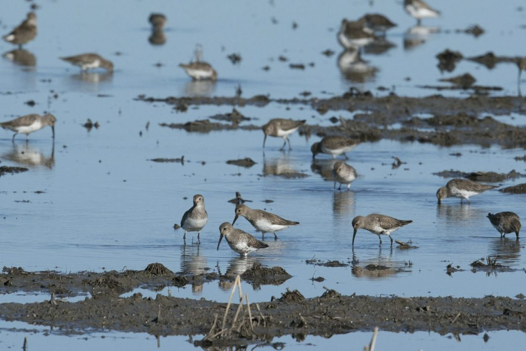 Flocks of dunlins gather in a wetland created in California's once-lush Central Valley by the BirdReturns program. Conservationists, bird watchers and farmers have joined together on an innovative program to restore essential habitat for migratory shorebirds.