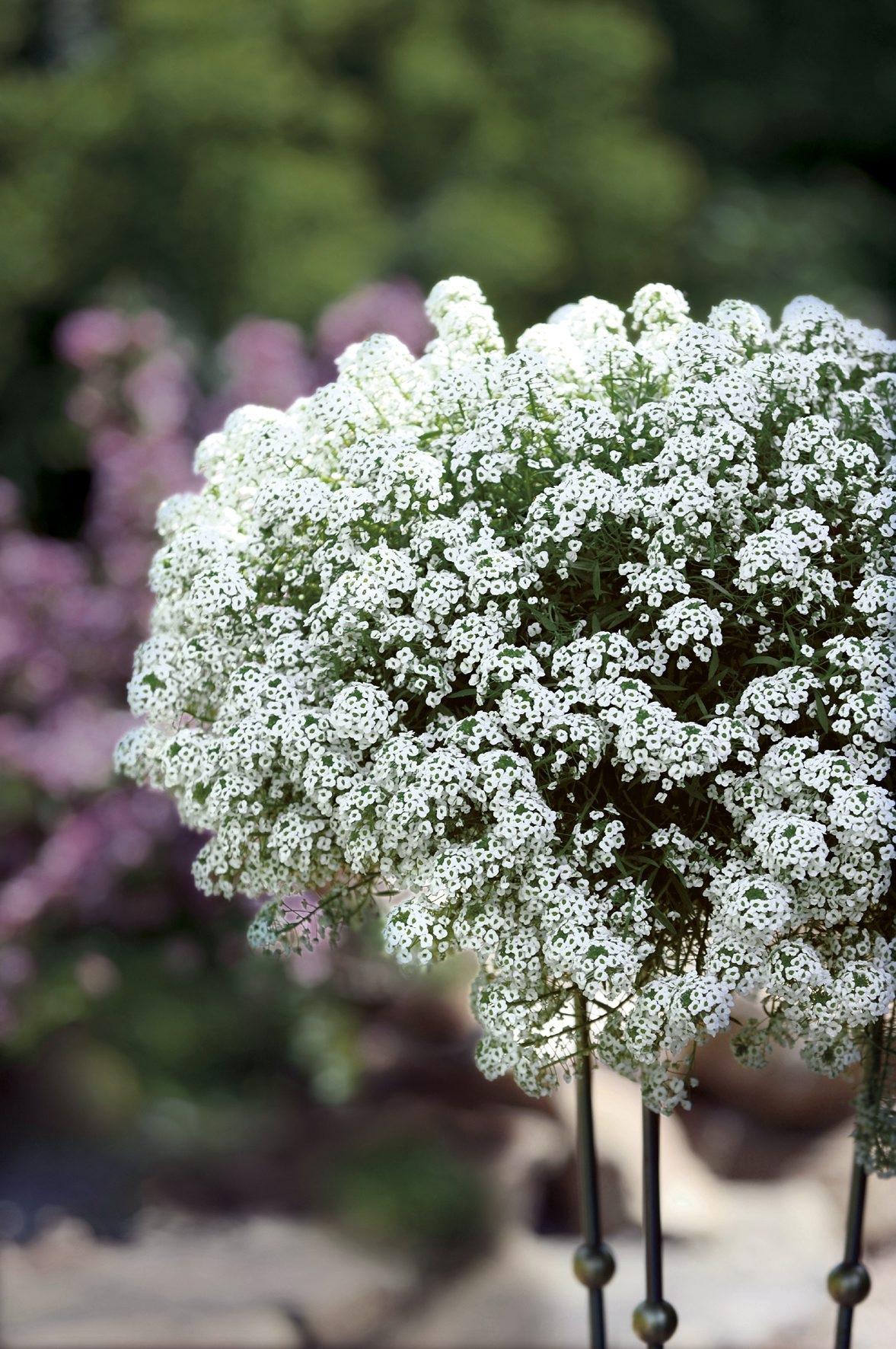 Lobularia 'Snow Princess' and kin: The greatly improved cultivars of Sweet Alyssum make great hanging baskets for a long season of satisfaction and have been seen flowering even in November in snow.